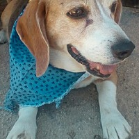 Beagle Dog for adoption in Apple Valley, California - Peanut Brittle