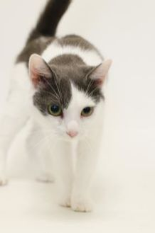 Domestic Shorthair/Domestic Shorthair Mix Cat for adoption in Dayton, Ohio - Ms. Pretty Eyes