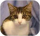 Domestic Shorthair Kitten for adoption in Walker, Michigan - Sweet'N'Sour