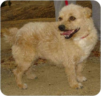 Norwich Terrier/Terrier (Unknown Type, Small) Mix Dog for adoption in Bakersfield, California - Ginger Bear