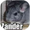 Chinchilla for adoption in Virginia Beach, Virginia - Zander