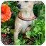 Photo 4 - Chihuahua Mix Puppy for adoption in San Clemente, California - Pan
