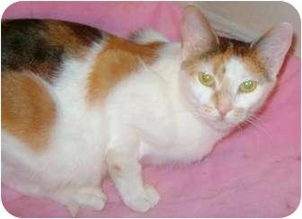 Domestic Shorthair Cat for adoption in Etobicoke, Ontario - Maya