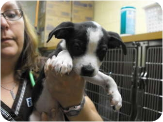 Beagle/Border Collie Mix Puppy for adoption in Wilminton, Delaware - Roger