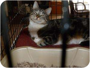 Domestic Mediumhair Cat for adoption in Stafford, Virginia - Clem Kadiddlehopper