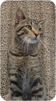 Domestic Shorthair Cat for adoption in Barron, Wisconsin - Scooby