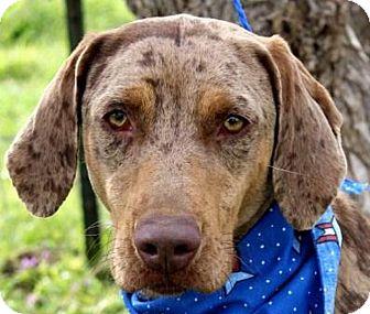 Weimaraner/Catahoula Leopard Dog Mix Dog for adoption in Austin, Texas - Georgia