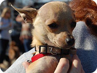Chihuahua Mix Dog for adoption in Charlotte, North Carolina - Maximus