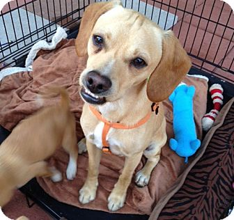 Beagle Mix Dog for adoption in Cerritos, California - Frankie