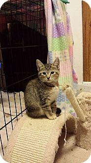 Domestic Shorthair Kitten for adoption in Putnam, Connecticut - Lilac