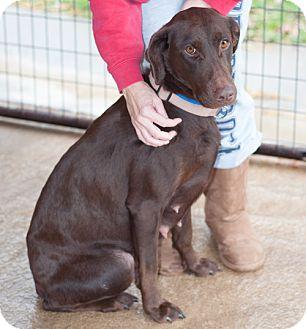 Labrador Retriever/Doberman Pinscher Mix Dog for adoption in Wilmington, Delaware - Suzy