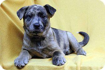 Labrador Retriever/Catahoula Leopard Dog Mix Puppy for adoption in Westminster, Colorado - Naomi