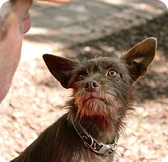 Cairn Terrier Mix Dog for adoption in Winters, California - Bella