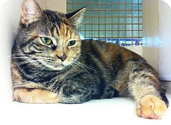 Calico Cat for adoption in Riverside, California - Lady Momma
