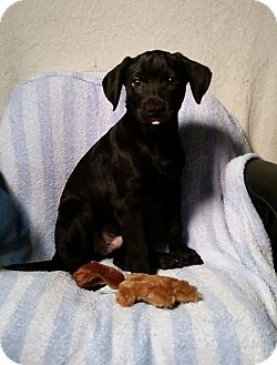 Labrador Retriever/Shepherd (Unknown Type) Mix Puppy for adoption in Olympia, Washington - Blaze