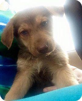 Shepherd (Unknown Type)/Labrador Retriever Mix Puppy for adoption in St. Paul, Minnesota - Jemma
