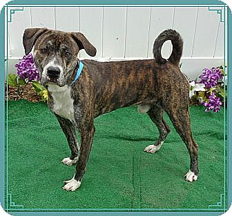 Plott Hound/Labrador Retriever Mix Dog for adoption in Woodstock, Georgia - Mozart