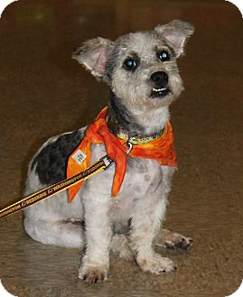 Poodle (Miniature)/Terrier (Unknown Type, Small) Mix Dog for adoption in Staunton, Virginia - Aria