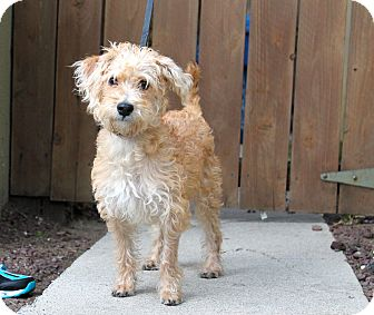 Poodle (Miniature)/Terrier (Unknown Type, Small) Mix Puppy for adoption in Los Angeles, California - Shoshana