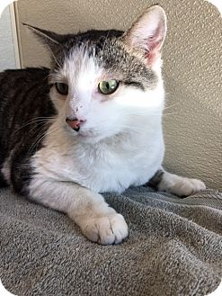Domestic Shorthair Cat for adoption in Las Vegas, Nevada - Hyms