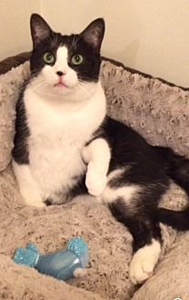 Domestic Shorthair Cat for adoption in Los Angeles, California - Benny