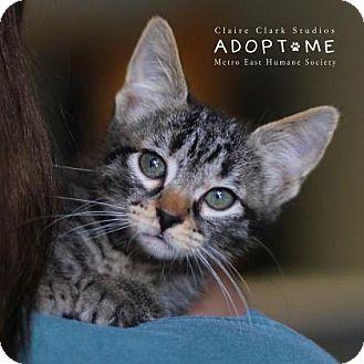 Domestic Shorthair Kitten for adoption in Edwardsville, Illinois - Marcia