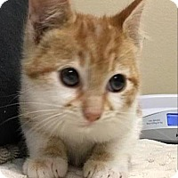 Adopt A Pet :: Yeti Spaghetti - Oceanside, CA