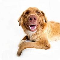 Adopt A Pet :: Bear - Boulder, CO