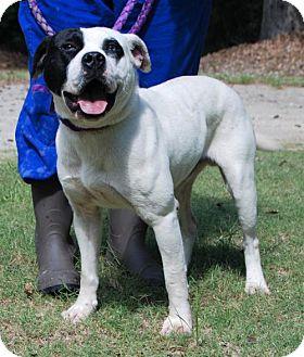 Staffordshire Bull Terrier Mix Dog for adoption in Rockaway, New Jersey - Buddy Barnwell