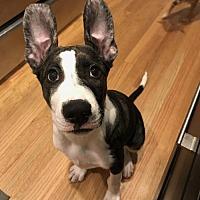 American Bulldog/Shepherd (Unknown Type) Mix Puppy for adoption in Littleton, Colorado - Margarita