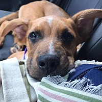 Boxer/Shepherd (Unknown Type) Mix Puppy for adoption in Darien, Connecticut - Dave