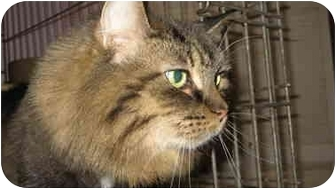 Domestic Longhair Cat for adoption in Chicago, Illinois - Touloula