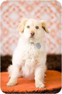 Corgi/Golden Retriever Mix Puppy for adoption in Portland, Oregon - Paco