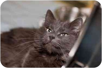 Domestic Shorthair Cat for adoption in Westbrook, Maine - Kendra