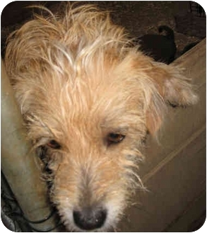 Cairn Terrier/Bichon Frise Mix Dog for adoption in Poway, California - Tinkerbelle