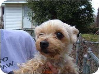 Yorkie, Yorkshire Terrier Dog for adoption in No.Charleston, South Carolina - Pebbles