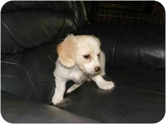 Cavalier King Charles Spaniel/Bichon Frise Mix Puppy for adoption in Barrie, Ontario - Cindy