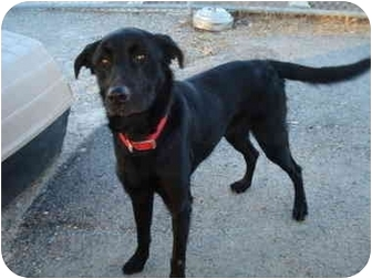 Labrador Retriever Mix Dog for adoption in Clinton, Missouri - Bo Jangles