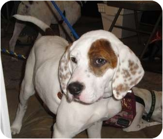 English Setter/Labrador Retriever Mix Puppy for adoption in Wood Dale, Illinois - Periwinkle- Foster Home Needed