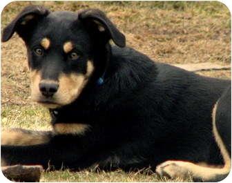 Terrier (Unknown Type, Medium) Mix Puppy for adoption in Colville, Washington - Romy