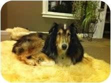 Sheltie, Shetland Sheepdog/Collie Mix Dog for adoption in Gaffney, South Carolina - kelly