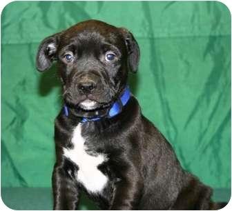 Mastiff/Shepherd (Unknown Type) Mix Puppy for adoption in Westminster, Colorado - ZINC