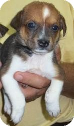 Chihuahua/Jack Russell Terrier Mix Puppy for adoption in Gaffney, South Carolina - Magnum