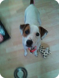 Jack Russell Terrier Mix Dog for adoption in Rochester Hills, Michigan - Remmington