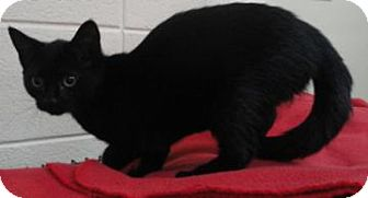 Domestic Shorthair Cat for adoption in Spruce Pine, North Carolina - Ravioli
