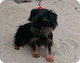 Yorkie, Yorkshire Terrier Mix Puppy for adoption in Santa Monica, California - Skittles