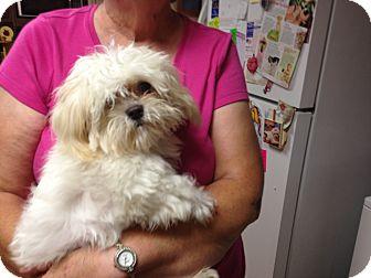 Maltese/Shih Tzu Mix Dog for adoption in Hazard, Kentucky - Bear