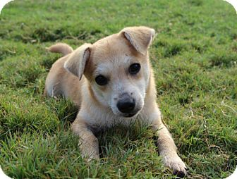 Chihuahua/Terrier (Unknown Type, Small) Mix Puppy for adoption in Austin, Texas - Bonnie