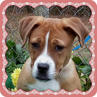 Boxer Mix Puppy for adoption in Marietta, Georgia - GINGER