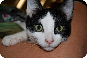 Domestic Shorthair Cat for adoption in Livonia, Michigan - Stevie